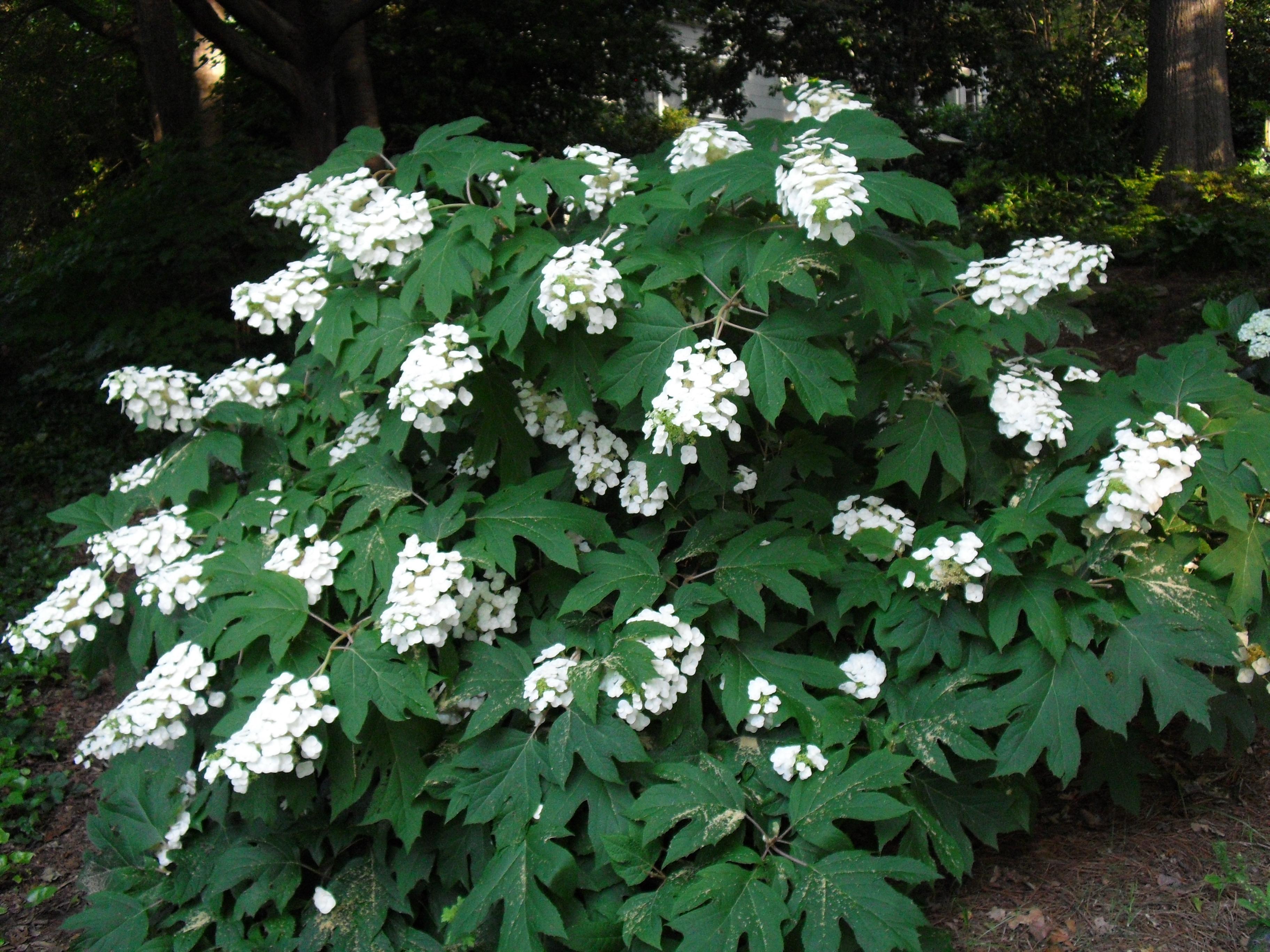 hydrangea bianca 39 s legacy