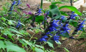 2014 Black and Blue salvia